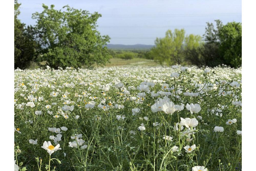 Photo credit Ron York - Texas Wildflowers