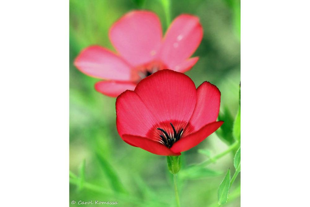 Photo credit Carol Komassa - Macro Wildflowers