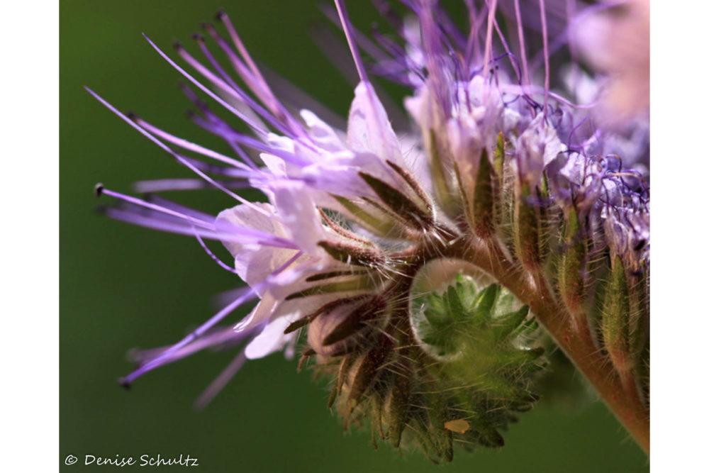 Photo credit Denise Schultz - Macro Wildflowers