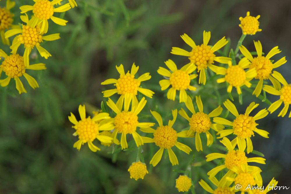 Photo credit: Amy Horn - Flagstaff Macro Wildflowers