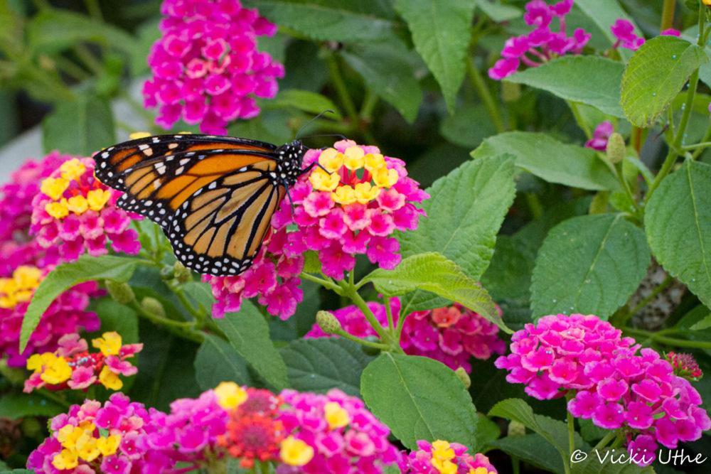 Photo credit: Vicki Uthe - Flagstaff Macro Wildflowers